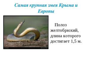 Полоз желтобрюхий, длина которого достигает 1,5 м.