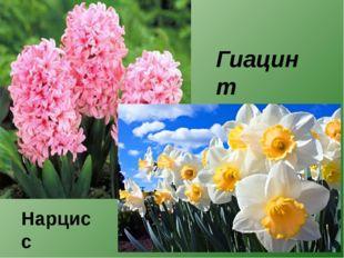 Гиацинт Нарцисс