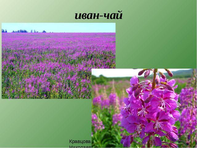иван-чай Кравцова Елена Николаевна, 235-703-920