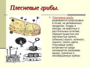 Плесневые грибы. Плесневые грибы развиваются сапротрофно в почве, на увлажнен