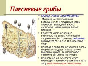 Плесневые грибы Мукор. Класс Зигомицеты. Мицелий несептированный, ветвящийся,
