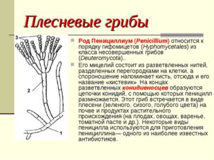 Плесневые грибы Род Пенициллиум (Penicillium) относится к порядку гифомицетов