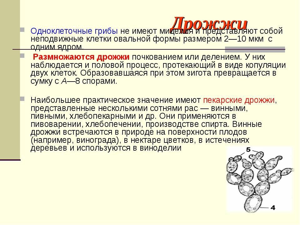 Дрожжи Одноклеточные грибы не имеют мицелия и представляют собой неподвижные...
