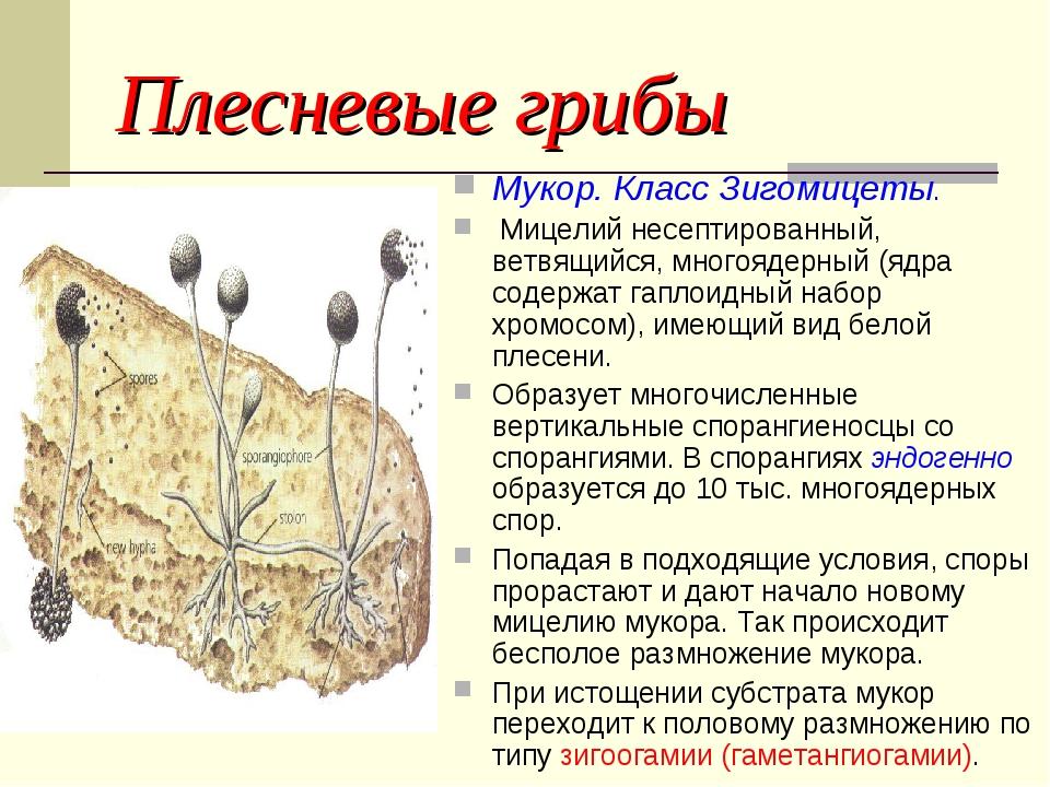 Плесневые грибы Мукор. Класс Зигомицеты. Мицелий несептированный, ветвящийся,...