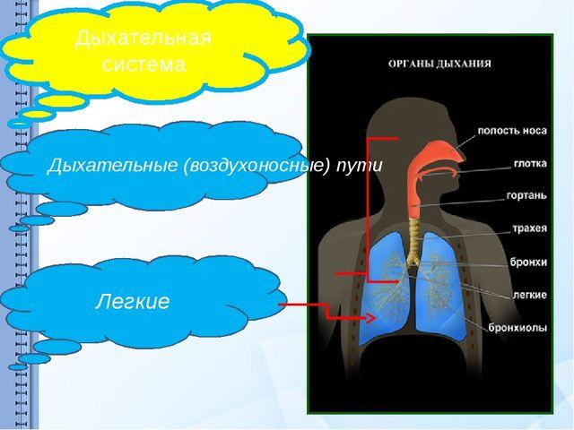 Дыхательная система Дыхательные (воздухоносные) пути Легкие