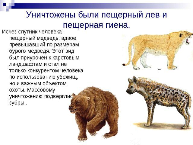 Уничтожены были пещерный лев и пещерная гиена. Исчез спутник человека - пещер...
