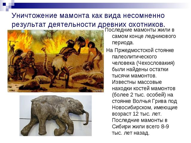 Уничтожение мамонта как вида несомненно результат деятельности древних охотни...