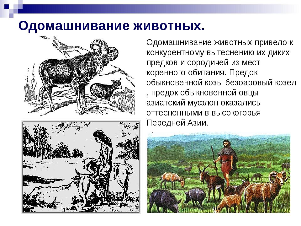 Одомашнивание животных. Одомашнивание животных привело к конкурентному вытесн...