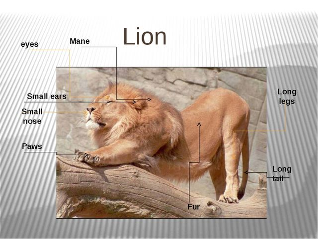 Lion Mane Long tail Paws Fur Small ears eyes Small nose Long legs