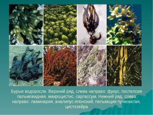 Бурые водоросли. Верхний ряд, слева направо: фукус, постелсия пальмовидная, м