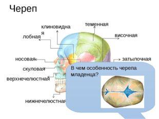 Череп решетчатая теменная затылочная височная скуловая носовая верхнечелюстна