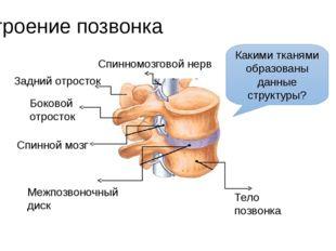 Строение позвонка Тело позвонка Межпозвоночный диск Спинномозговой нерв Задни