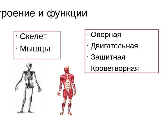 Строение и функции Скелет Мышцы Опорная Двигательная Защитная Кроветворная
