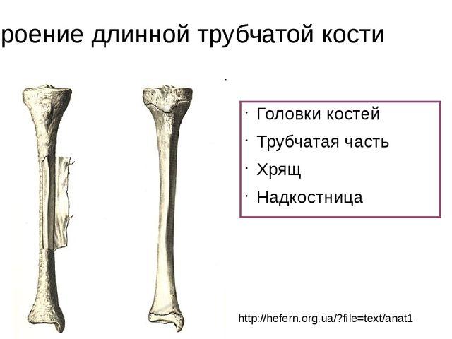 Строение длинной трубчатой кости Головки костей Трубчатая часть Хрящ Надкостн...
