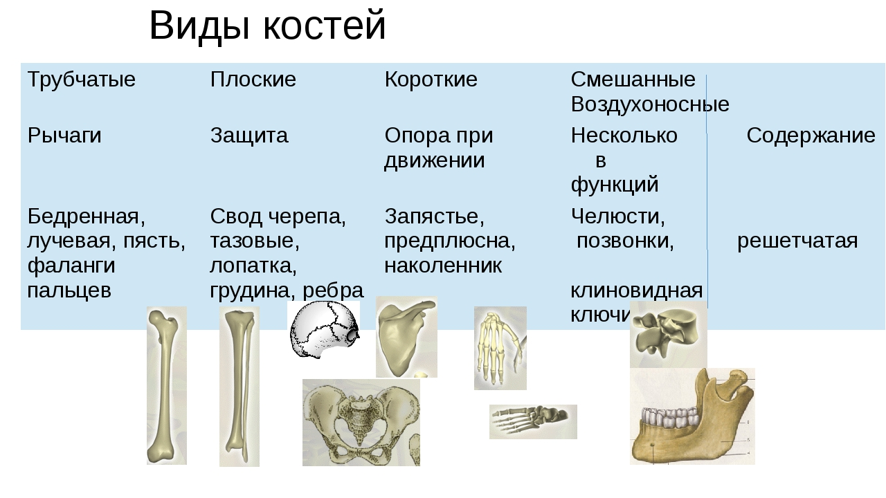 Виды костей Трубчатые Плоские Короткие Смешанные Воздухоносные Рычаги Защита...