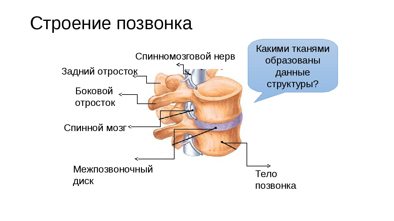 Строение позвонка Тело позвонка Межпозвоночный диск Спинномозговой нерв Задни...