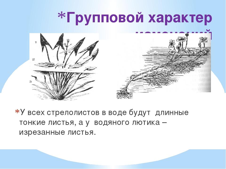 Групповой характер изменений У всех стрелолистов в воде будут  длинные тонки...