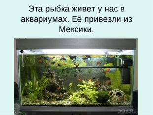 Эта рыбка живет у нас в аквариумах. Её привезли из Мексики.