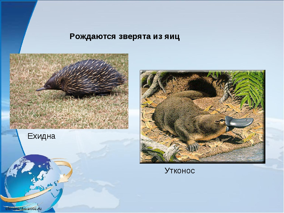 Рождаются зверята из яиц Ехидна Утконос