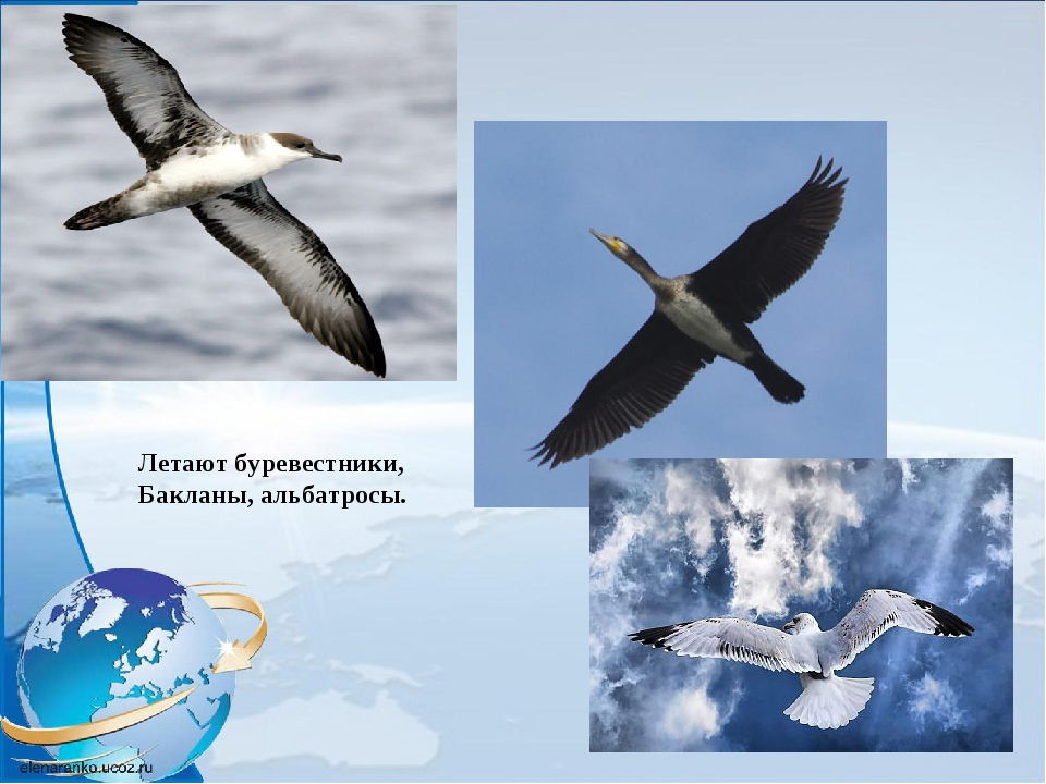 Летают буревестники, Бакланы, альбатросы.