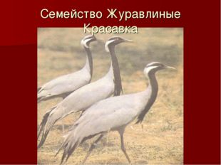 Семейство Журавлиные Красавка