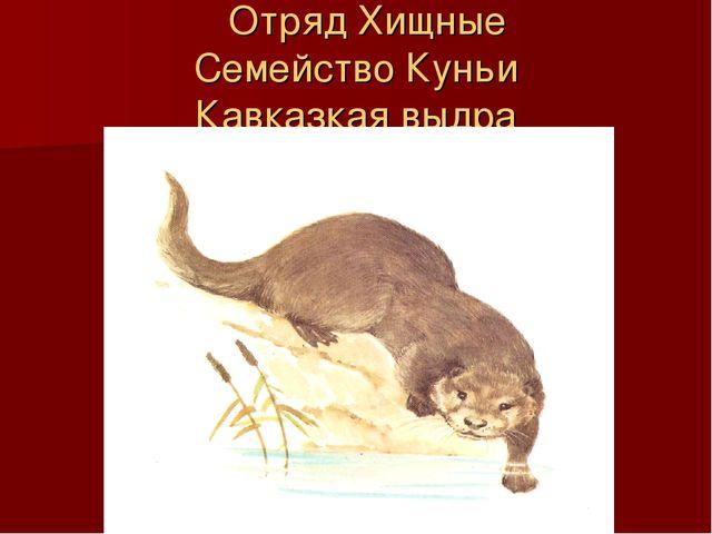 Отряд Хищные Семейство Куньи Кавказкая выдра