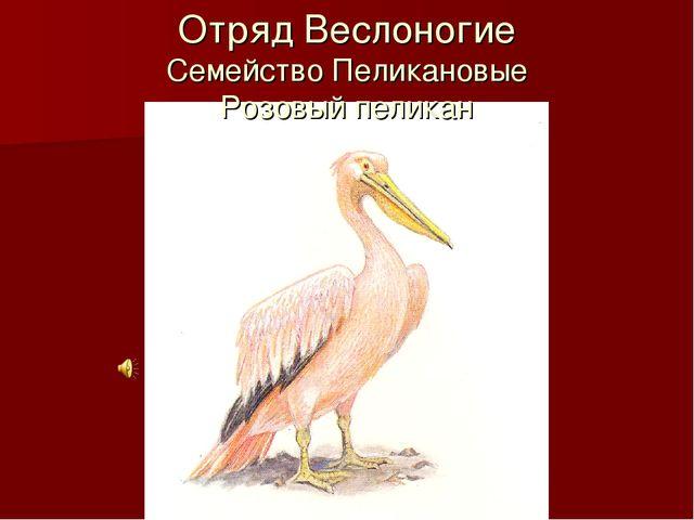 Отряд Веслоногие Семейство Пеликановые Розовый пеликан