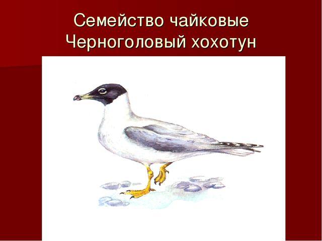 Семейство чайковые Черноголовый хохотун