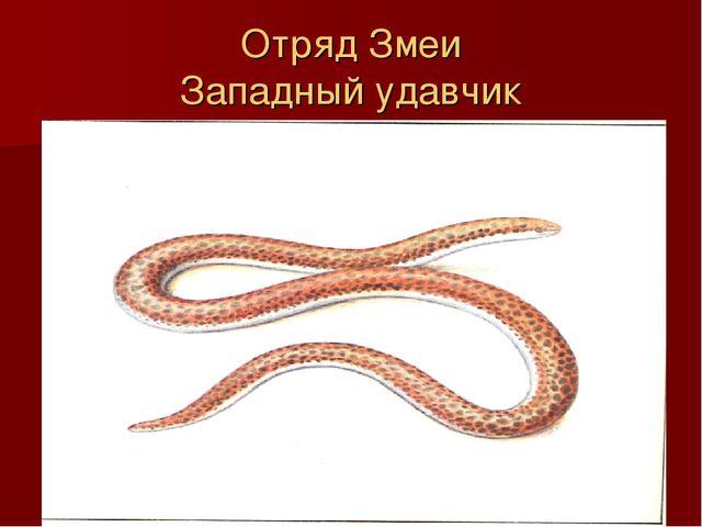 Отряд Змеи Западный удавчик