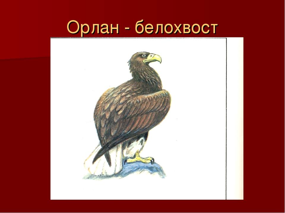 Орлан - белохвост
