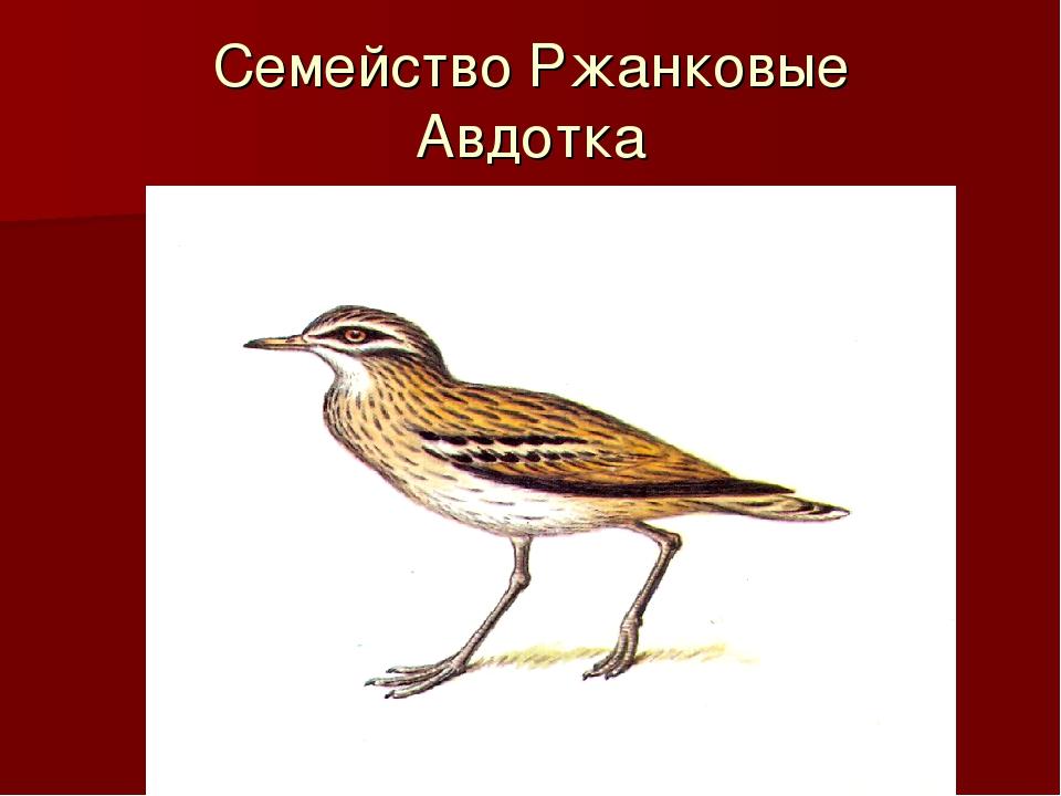 Семейство Ржанковые Авдотка