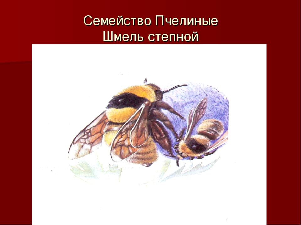 Семейство Пчелиные Шмель степной