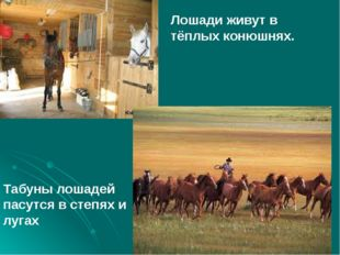Лошади живут в тёплых конюшнях. Табуны лошадей пасутся в степях и лугах