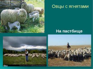 Овцы с ягнятами На пастбище