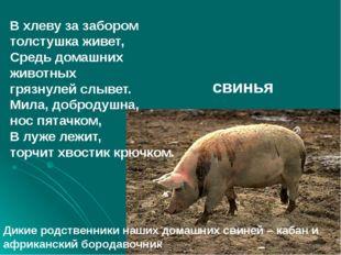 В хлеву за забором толстушка живет, Средь домашних животных грязнулей слывет