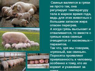 Свинья валяется в грязи не прсто так, она регулирует температуру тела в жарк