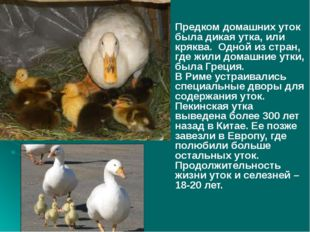 Предком домашних уток была дикая утка, или кряква. Одной из стран, где жили