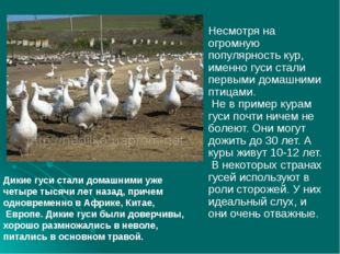 Несмотря на огромную популярность кур, именно гуси стали первыми домашними п