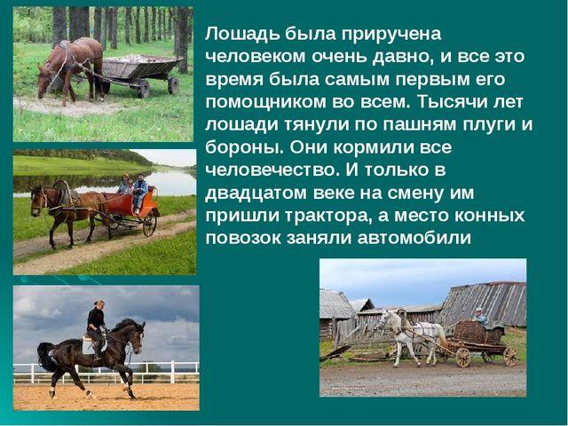 Лошадь была приручена человеком очень давно, и все это время была самым перв...
