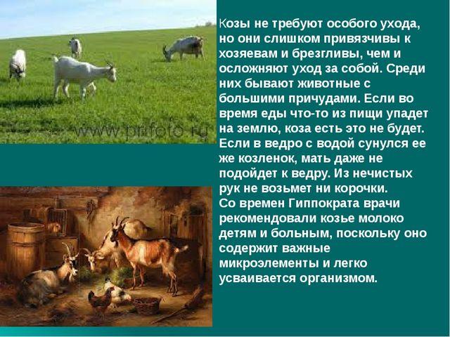 Козы не требуют особого ухода, но они слишком привязчивы к хозяевам и брезгл...