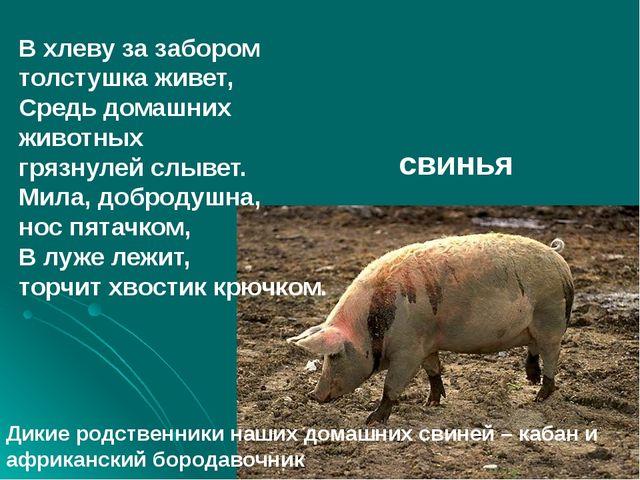 В хлеву за забором толстушка живет, Средь домашних животных грязнулей слывет...