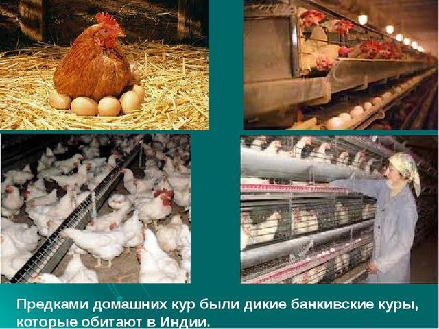 Предками домашних кур были дикие банкивские куры, которые обитают в Индии.