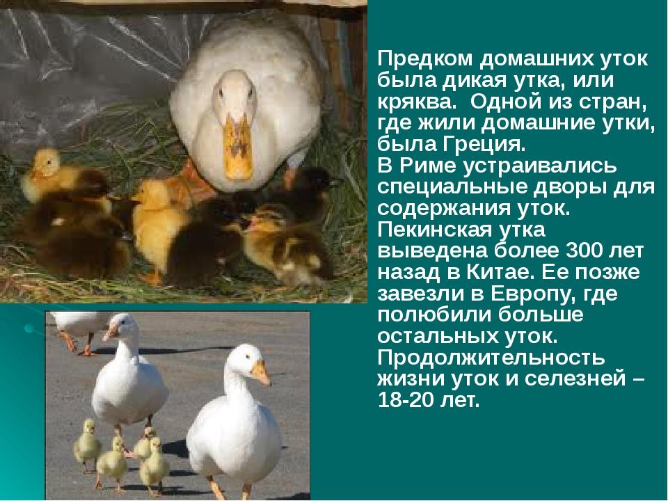 Предком домашних уток была дикая утка, или кряква. Одной из стран, где жили...