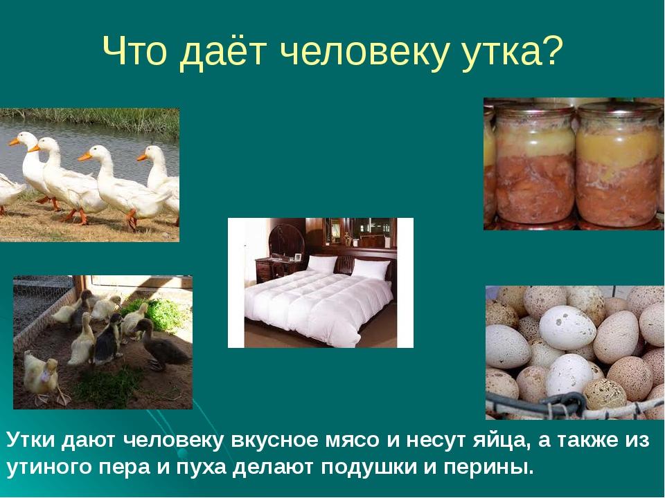 Что даёт человеку утка? Утки дают человеку вкусное мясо и несут яйца, а также...