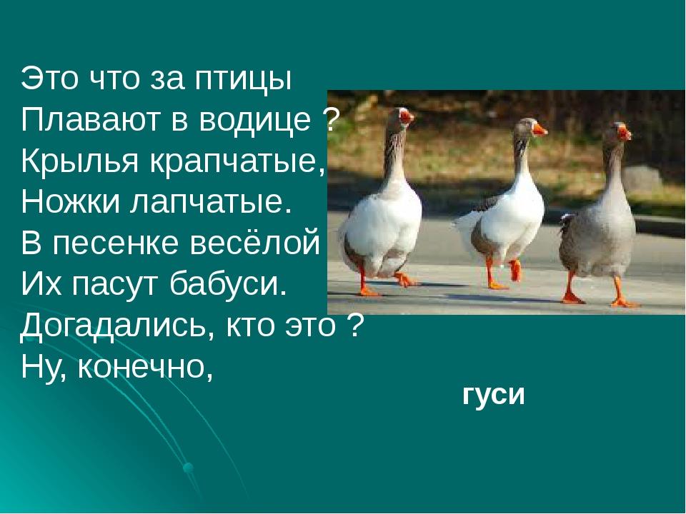 Это что за птицы Плавают в водице ? Крылья крапчатые, Ножки лапчатые. В песе...