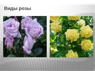 Виды розы