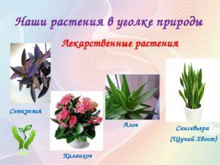 Наши растения в уголке природы Лекарственные растения Сансевьера (Щучий Хвост