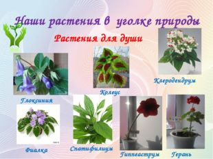 Наши растения в уголке природы Растения для души Гиппеаструм Глоксиния Герань