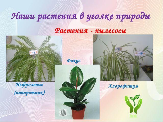 Наши растения в уголке природы Растения - пылесосы Нефролепис (папоротник) Фи...