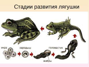 Стадии развития лягушки